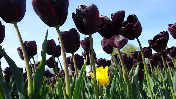 Tulip - outsider