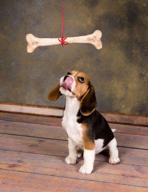Dog thinking about eating huge bone